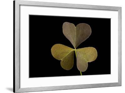 A Yellow Wood Sorrel Plant, Oxalis Stricta-Joel Sartore-Framed Photographic Print