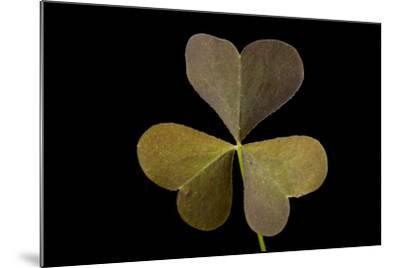 A Yellow Wood Sorrel Plant, Oxalis Stricta-Joel Sartore-Mounted Photographic Print
