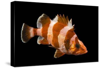 A Flag Rockfish, Sebastes Rubrivinctus, at Omaha's Henry Doorly Zoo and Aquarium-Joel Sartore-Stretched Canvas Print