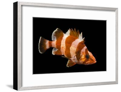 A Flag Rockfish, Sebastes Rubrivinctus, at Omaha's Henry Doorly Zoo and Aquarium-Joel Sartore-Framed Photographic Print