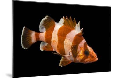 A Flag Rockfish, Sebastes Rubrivinctus, at Omaha's Henry Doorly Zoo and Aquarium-Joel Sartore-Mounted Photographic Print
