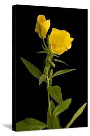 A Common Evening Primrose, Oenothera Biennis-Joel Sartore-Stretched Canvas Print