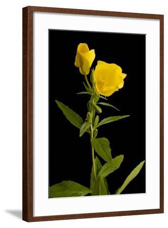 A Common Evening Primrose, Oenothera Biennis-Joel Sartore-Framed Photographic Print