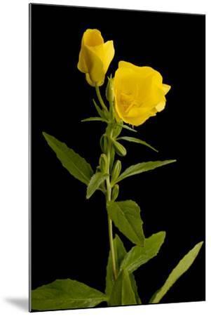 A Common Evening Primrose, Oenothera Biennis-Joel Sartore-Mounted Photographic Print