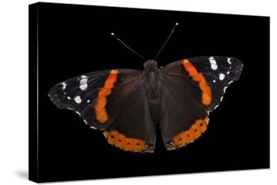 A Red Admiral Butterfly, Vanessa Atalanta, at Leech Lake, Minnesota-Joel Sartore-Stretched Canvas Print