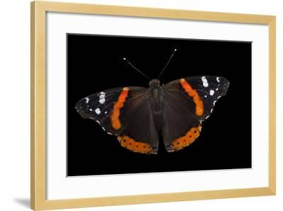 A Red Admiral Butterfly, Vanessa Atalanta, at Leech Lake, Minnesota-Joel Sartore-Framed Photographic Print