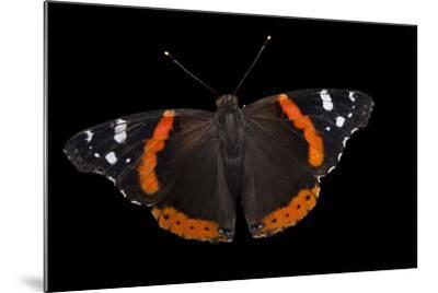 A Red Admiral Butterfly, Vanessa Atalanta, at Leech Lake, Minnesota-Joel Sartore-Mounted Photographic Print