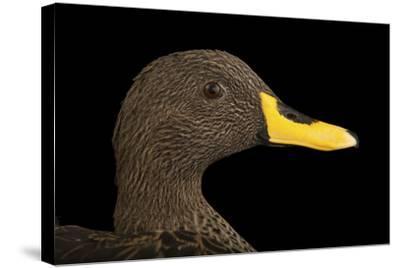 A Yellow-Billed Duck, Anas Undulata Undulata, at the Omaha Henry Doorly Zoo-Joel Sartore-Stretched Canvas Print