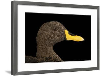 A Yellow-Billed Duck, Anas Undulata Undulata, at the Omaha Henry Doorly Zoo-Joel Sartore-Framed Photographic Print