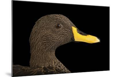 A Yellow-Billed Duck, Anas Undulata Undulata, at the Omaha Henry Doorly Zoo-Joel Sartore-Mounted Photographic Print