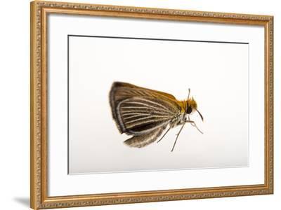 A Federally Endangered Poweshiek Skipperling, Oarisma Poweshiek, at the Minnesota Zoo-Joel Sartore-Framed Photographic Print