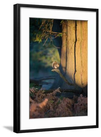 A Gray Squirrel Feeds in the Autumn Foliage of Richmond Park-Alex Saberi-Framed Photographic Print