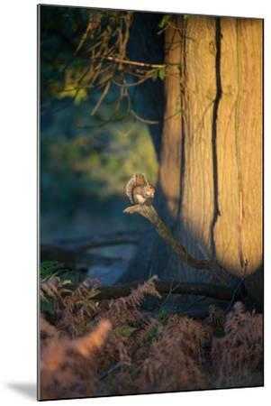 A Gray Squirrel Feeds in the Autumn Foliage of Richmond Park-Alex Saberi-Mounted Photographic Print