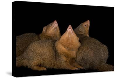 Common Dwarf Mongooses, Helogale Parvula, at the Omaha Henry Doorly Zoo-Joel Sartore-Stretched Canvas Print