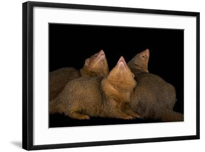 Common Dwarf Mongooses, Helogale Parvula, at the Omaha Henry Doorly Zoo-Joel Sartore-Framed Photographic Print