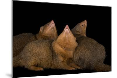 Common Dwarf Mongooses, Helogale Parvula, at the Omaha Henry Doorly Zoo-Joel Sartore-Mounted Photographic Print