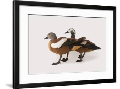South African Shelducks, Tadorna Cana, at the Palm Beach Zoo-Joel Sartore-Framed Photographic Print