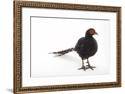 A Federally Endangered Mikado Pheasant, Syrmaticus Mikado, at Pheasant Heaven-Joel Sartore-Framed Photographic Print