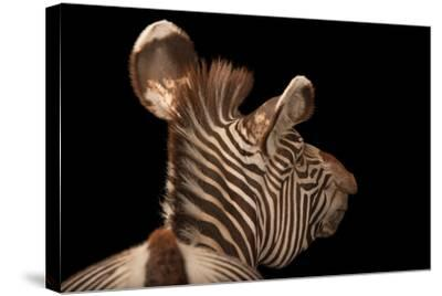 An Endangered Grevy's Zebra, Equus Grevyi-Joel Sartore-Stretched Canvas Print