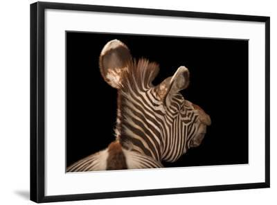 An Endangered Grevy's Zebra, Equus Grevyi-Joel Sartore-Framed Photographic Print