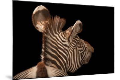 An Endangered Grevy's Zebra, Equus Grevyi-Joel Sartore-Mounted Photographic Print