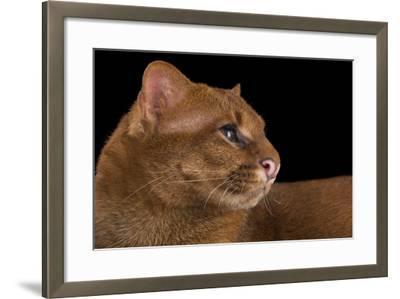 A Federally Endangered Jaguarundi, Puma Yagouaroundi, at Bear Creek Feline Center-Joel Sartore-Framed Photographic Print