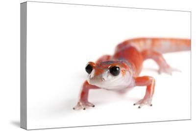 A Sierra Nevada Ensatina Salamander, Ensatina Eschscholtzi Platensis-Joel Sartore-Stretched Canvas Print