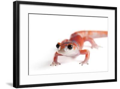 A Sierra Nevada Ensatina Salamander, Ensatina Eschscholtzi Platensis-Joel Sartore-Framed Photographic Print