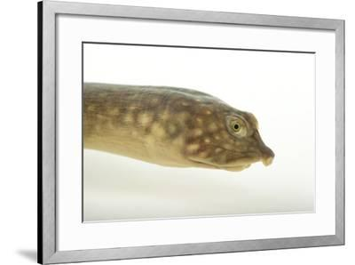 A Zambezi Flapshelled Turtle, Cycloderma Frenatum-Joel Sartore-Framed Photographic Print