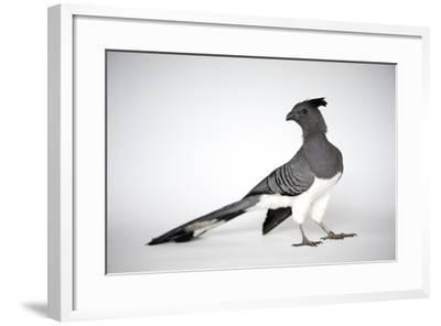 A White-Bellied Go-Away Bird, Corythaixoides Leucogaster-Joel Sartore-Framed Photographic Print