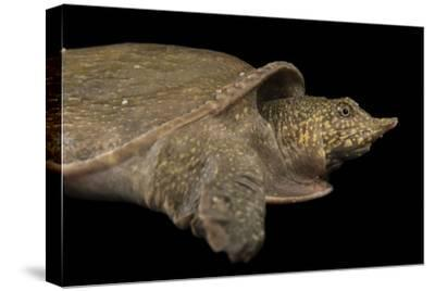 A Vulnerable Southeast Asian Softshelled Turtle-Joel Sartore-Stretched Canvas Print
