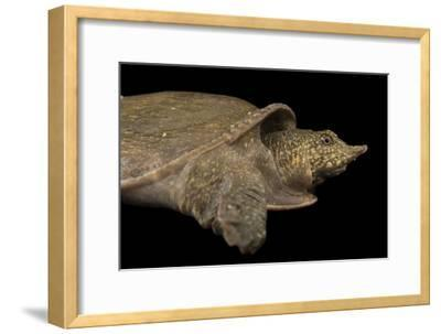 A Vulnerable Southeast Asian Softshelled Turtle-Joel Sartore-Framed Photographic Print