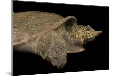 A Vulnerable Southeast Asian Softshelled Turtle-Joel Sartore-Mounted Photographic Print