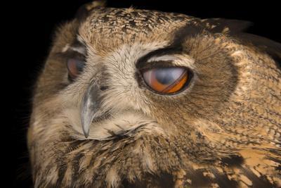 The Inner Eyelids of a Spanish Eagle Owl, Bubo Bubo Hispanus, at the Palm Beach Zoo-Joel Sartore-Framed Photographic Print