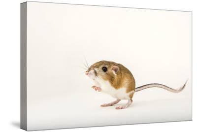 An Ord's Kangaroo Rat, Dipodomys Ordii, at the Fort Worth Zoo-Joel Sartore-Stretched Canvas Print