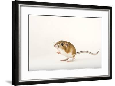 An Ord's Kangaroo Rat, Dipodomys Ordii, at the Fort Worth Zoo-Joel Sartore-Framed Photographic Print
