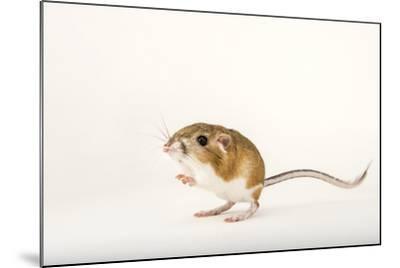 An Ord's Kangaroo Rat, Dipodomys Ordii, at the Fort Worth Zoo-Joel Sartore-Mounted Photographic Print