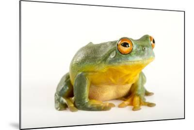 A Southern Orange-Eyed Tree Frog, Litoria Chloris, at the Wild Life Sydney Zoo-Joel Sartore-Mounted Photographic Print