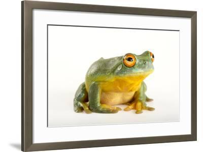 A Southern Orange-Eyed Tree Frog, Litoria Chloris, at the Wild Life Sydney Zoo-Joel Sartore-Framed Photographic Print