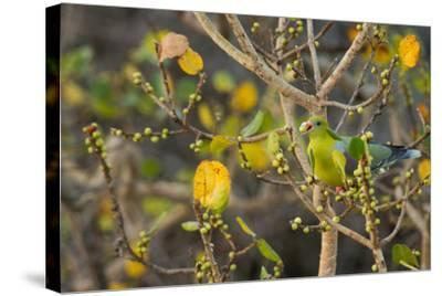 An African Green Pigeon Eating Fruits in a Tree-Erika Skogg-Stretched Canvas Print