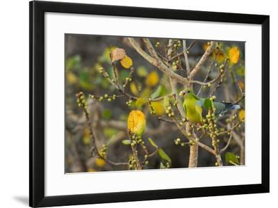 An African Green Pigeon Eating Fruits in a Tree-Erika Skogg-Framed Photographic Print