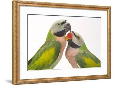 A Male and Female Red-Breasted Parakeet, Psittacula Alexandri, at Pandemonium Aviaries-Joel Sartore-Framed Photographic Print