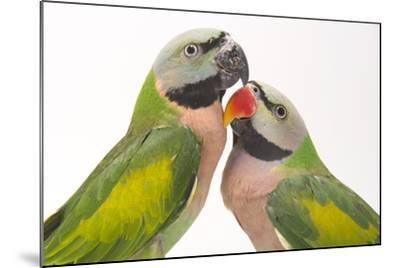 A Male and Female Red-Breasted Parakeet, Psittacula Alexandri, at Pandemonium Aviaries-Joel Sartore-Mounted Photographic Print