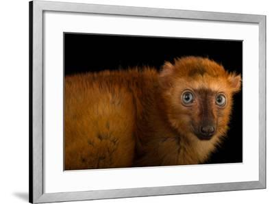 A Female, Critically Endangered Blue-Eyed Black Lemur, Eulemur Flavifrons, at the Duke Lemur Center-Joel Sartore-Framed Photographic Print