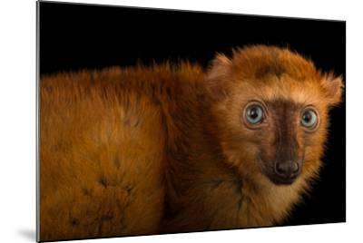 A Female, Critically Endangered Blue-Eyed Black Lemur, Eulemur Flavifrons, at the Duke Lemur Center-Joel Sartore-Mounted Photographic Print