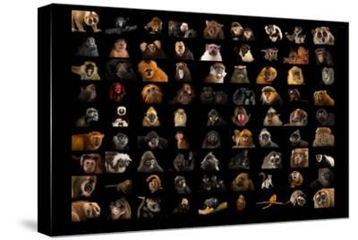 Composite of 90 Different Species of Primates-Joel Sartore-Stretched Canvas Print