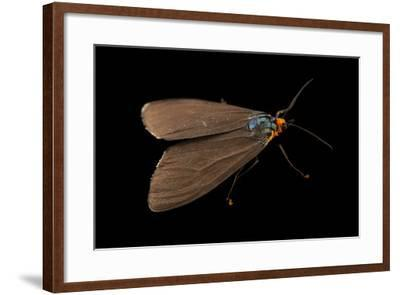 A Virginia Ctenucha, Ctenucha Virginica, from Cross Lake, Minnesota-Joel Sartore-Framed Photographic Print