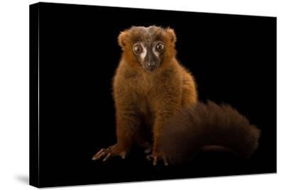 A Male Red-Bellied Lemur, Eulemur Rubriventer, at the Duke Lemur Center-Joel Sartore-Stretched Canvas Print