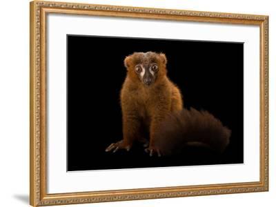 A Male Red-Bellied Lemur, Eulemur Rubriventer, at the Duke Lemur Center-Joel Sartore-Framed Photographic Print