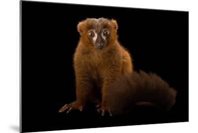 A Male Red-Bellied Lemur, Eulemur Rubriventer, at the Duke Lemur Center-Joel Sartore-Mounted Photographic Print